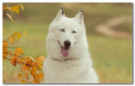 Image Sakhalin Husky Saarloos Wolfdog Puppy Husky Cuteness