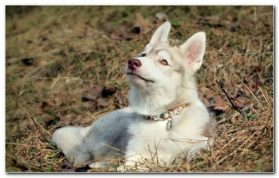 Image Sakhalin Husky Wolfdog Dog Breed Saarloos Wolfdog Tamaskan Dog