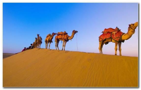 Image Sand Arabian Camel Aeolian Landform Sahara Camel