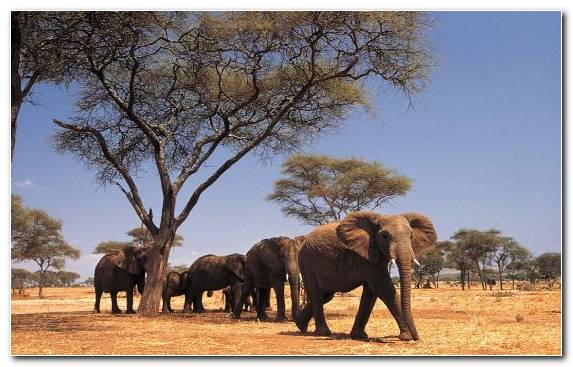 Image Savanna Desert African Elephant Elephants And Mammoths Wilderness
