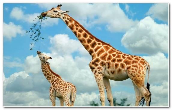 Image Savanna Ecosystem Cuteness Giraffe Grazing