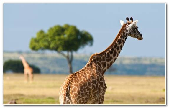 Image Savanna Giraffidae Africa Wildlife South African Giraffe
