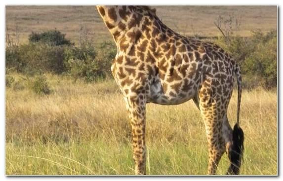 Image savanna giraffidae northern giraffe safari ecosystem