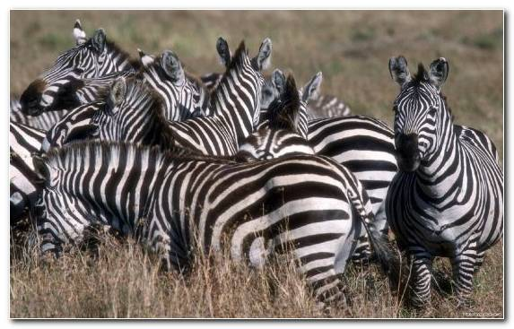 Image savanna grassland animal grasses zebra