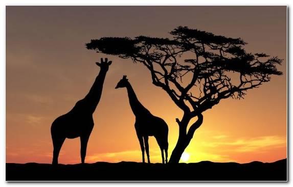 Image Savanna Grazing Grassland Terrestrial Animal Sky