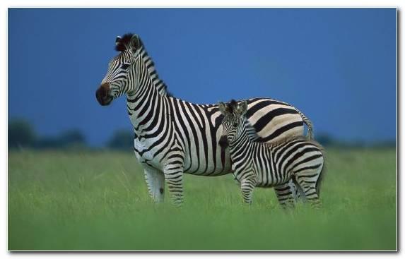 Image savanna grazing terrestrial animal grassland zebra