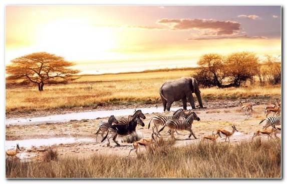 Image Savanna Lion Desert Prairie Plain