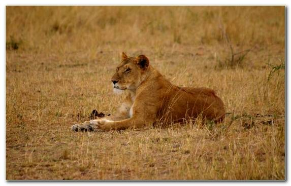 Image Savanna Lion Grazing Masai Lion Wildlife