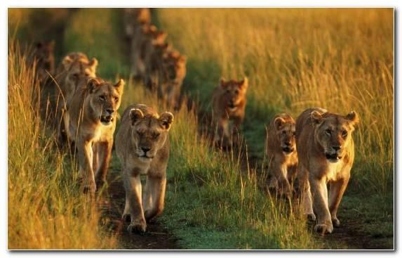 Image Savanna Puma Ecosystem Desert Grassland