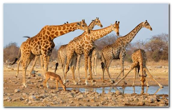 Image Savanna Safari Ecosystem Giraffidae Serengeti National Park