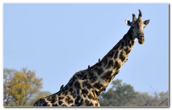 Image Savanna Safari Giraffe Wildlife National Park