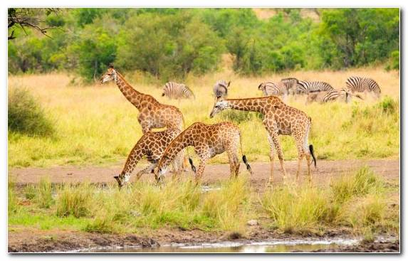 Image Savanna Safari Terrestrial Animal Kruger National Park Giraffidae