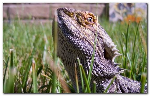 Image Scaled Reptile Reptile Terrestrial Animal Lizard Eastern Bearded Dragon