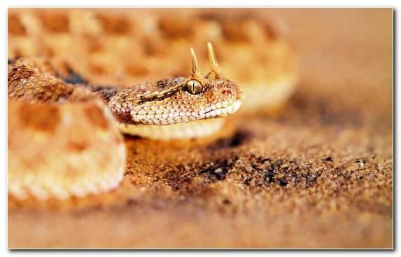 Image Scaled Reptile Terrestrial Animal Reptile Fauna Viper