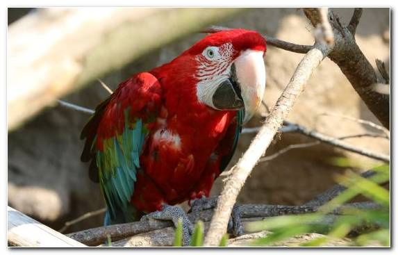Image Scarlet Macaw Bird Perico Red And Green Macaw Lorikeet
