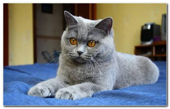 Image Scottish Fold Chartreux Dog Russian Blue Snout