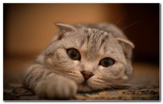 Image Scottish Fold Moustache British Shorthair Cat Breed Paws