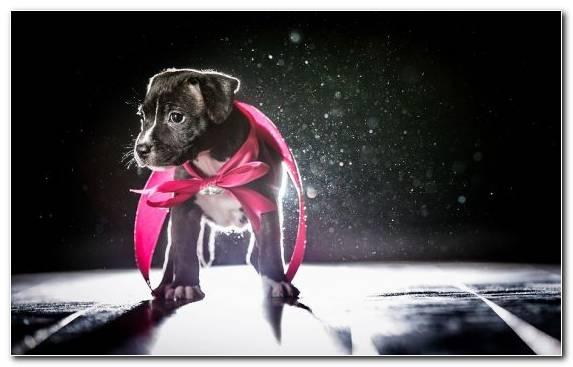 Image scottish terrier animal puppy dog breed vertebrate