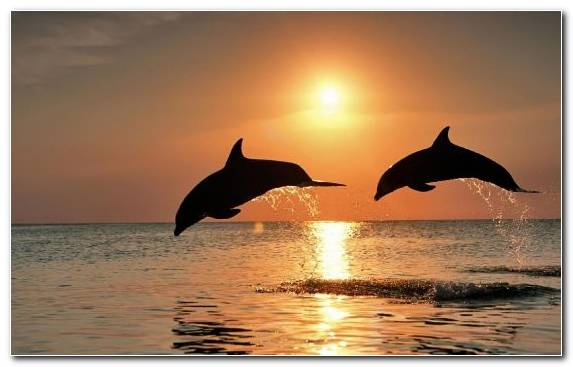 Image Sea Dolphin Sunrise Miami Dolphins Short Beaked Common Dolphin
