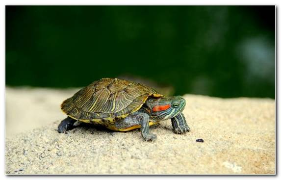 Image Sea Turtle Tortoise Reptile Box Turtle Terrestrial Animal