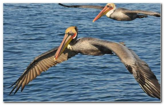 Image Seabird Pelican Water Bird Beak