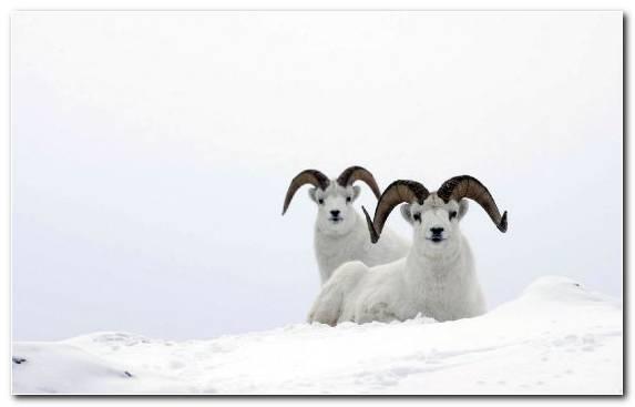 Image Sheep Wildlife Animal Argali Snow
