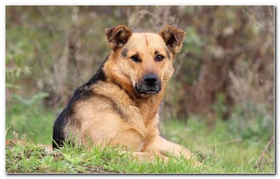 Image Shepherd Snout Dog Breed Companion Dog Dog Like Mammal