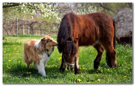 Image Shetland Sheepdog Mane Collie Dog Breed Animal