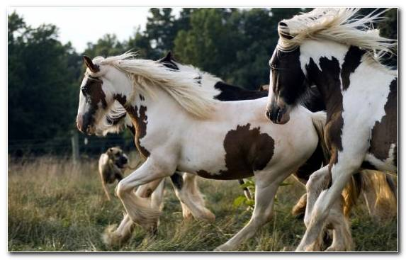 Image Shire Horse Mane Pinto Horse Animal Black