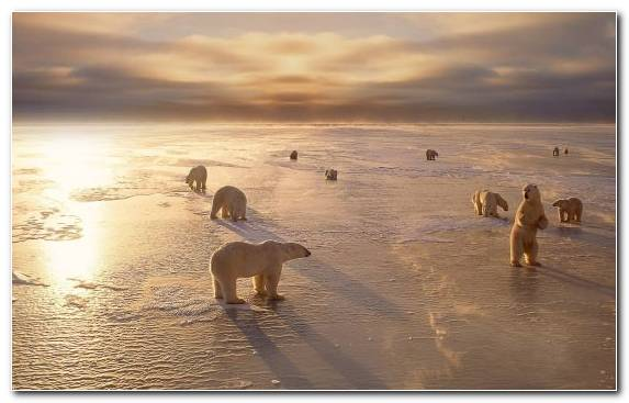 Image shore calm polar bear arctic brown bear