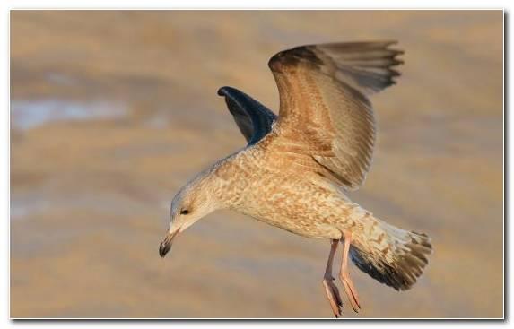 Image shorebird seabird gull beak european herring gull