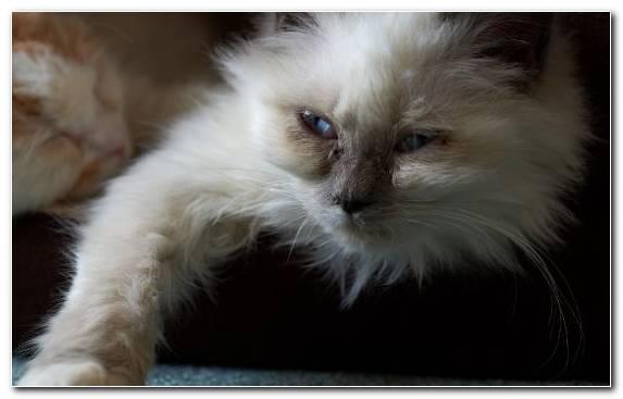 Image Siamese Cat Mammal Vertebrate Birman Kitten