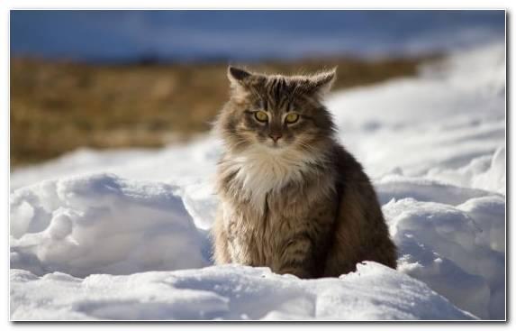 Image Siberian Norwegian Forest Cat Wildlife Snout Kitten