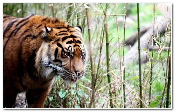 Image Siberian Tiger Fauna Snout Mammal Wildlife