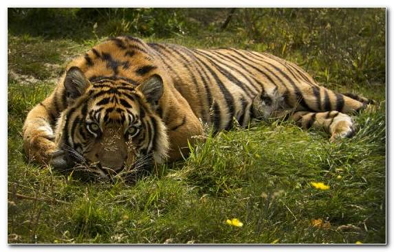 Image Siberian Tiger Wilderness Grassland Lion Sumatran Tiger