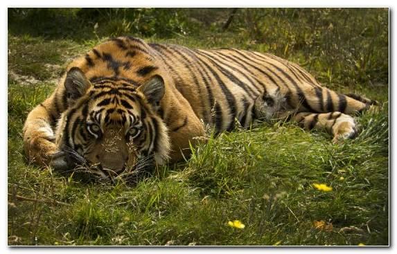 Image Siberian Tiger Wilderness Grassland Lion Sumatran Tiger