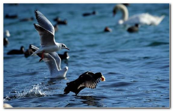Image Sky Ducks Geese And Swans Duck Beak Seabird