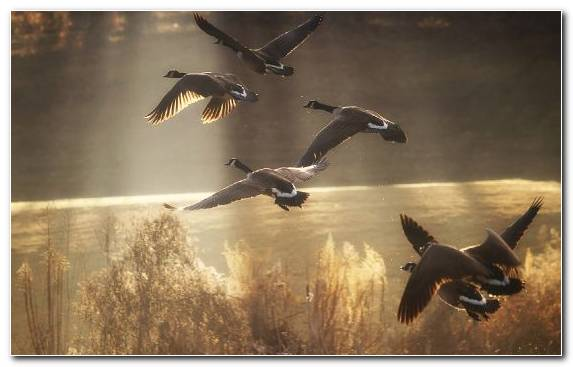 Image Sky Goose Wildlife Ducks Geese And Swans Bird