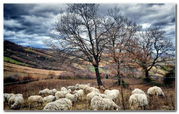 Image sky sheep rural area cloud clouds