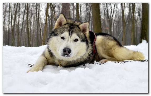 Image Sled Dog Siberian Husky Dog Like Mammal Dog Breed Northern Inuit Dog