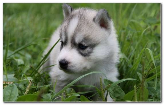 Image Sled Dog Dog Breed Animal Puppy Tamaskan Dog