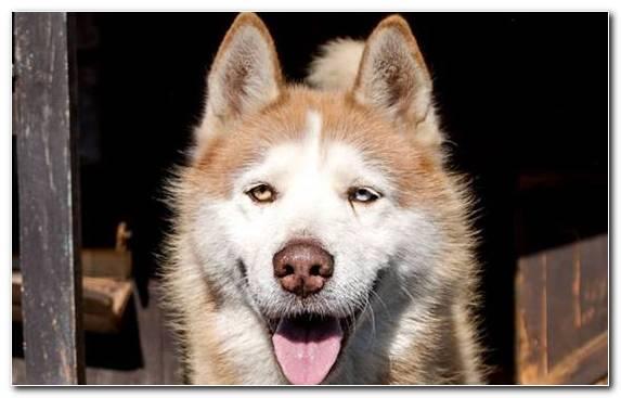 Image Sled Dog Dog Breed Group Siberian Husky East Siberian Laika Saarloos Wolfdog