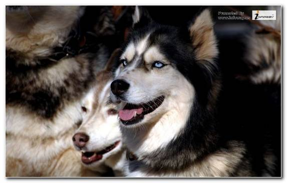 Image Sled Dog Dog Breed Group Pet Dog Poster
