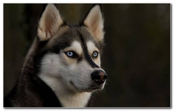 Image sled dog dog breed snout dog like mammal tamaskan dog
