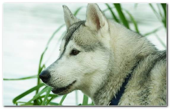 Image sled dog dog breed snout dog sled husky