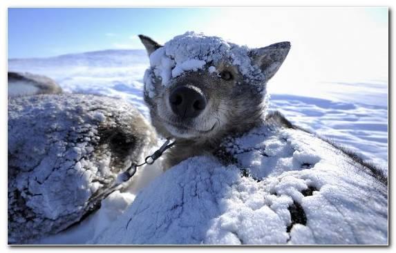 Image sled dog fauna fur mushing karelian bear dog
