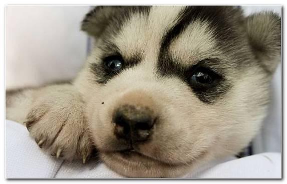 Image Sled Dog Miniature Siberian Husky Dog Like Mammal Siberian Husky Seppala Siberian Sleddog