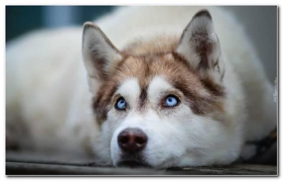 Image Sled Dog Pet Alaskan Malamute Tamaskan Dog Alaskan Husky