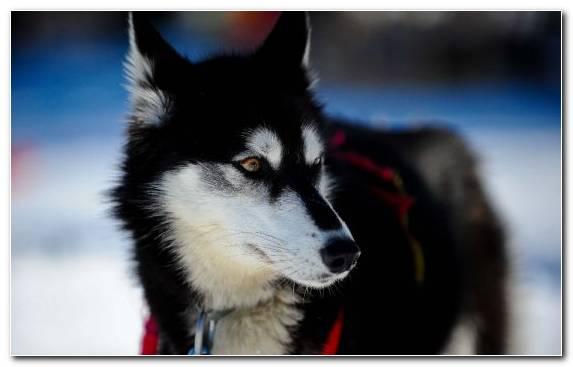 Image Sled Dog Seppala Siberian Sleddog Dog Dog Like Mammal Puppy