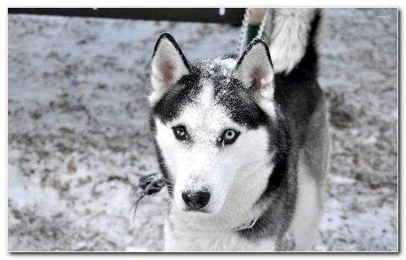 Image Sled Dog Sled Dog Racing Dog Breed Canadian Eskimo Dog Czechoslovakian Wolfdog